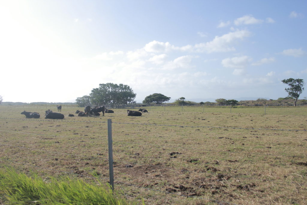 黒島の黒毛和牛