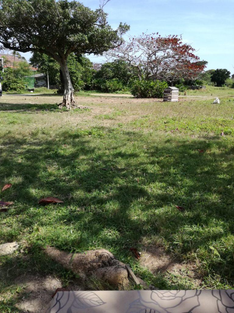 黒島 かじゅまるの木の下で
