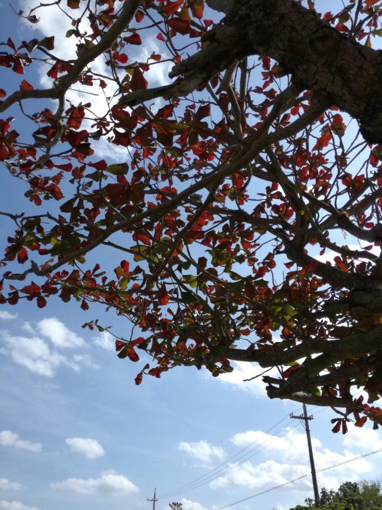 黒島 かじゅまるの木