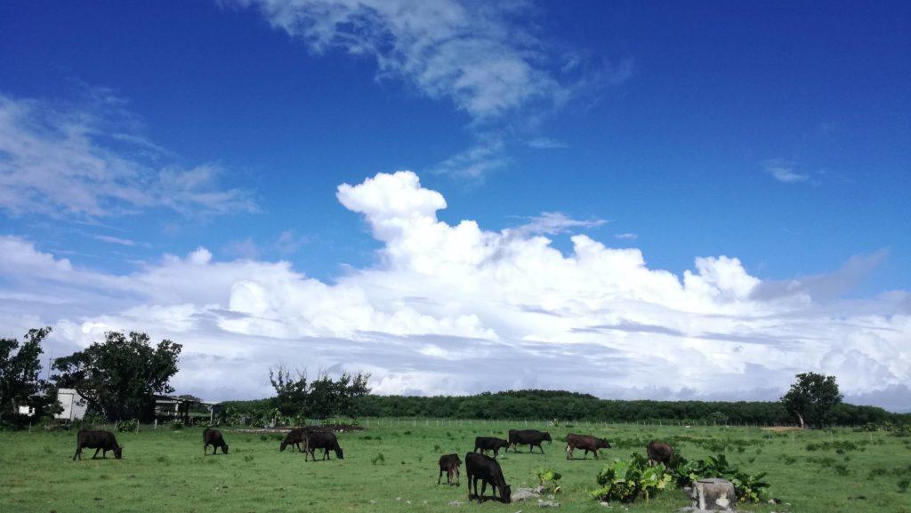 黒島の牛がいる風景